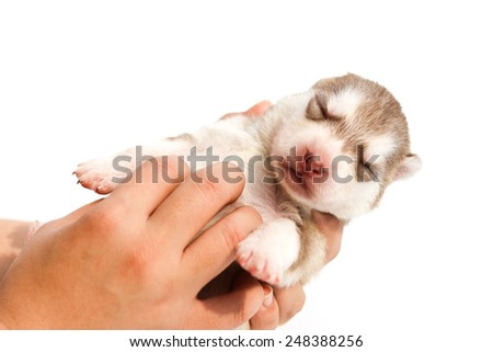 puppy dog born, puppy in hand, care and love, isolated background. - stock photo