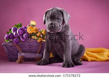 puppy, dog, Cane Corso, scenery - stock photo