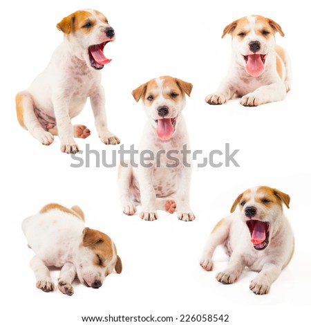 Puppy Dog collection showing tongue isolated on white background - stock photo