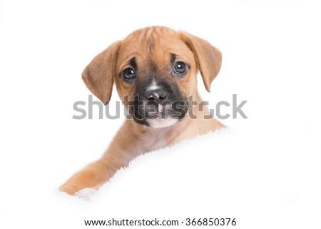Puppy Dog in White Background - stock photo