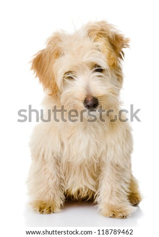 puppy dog looking at camera. isolated on white background - stock photo