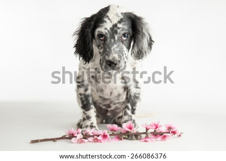 Puppy dog of setter with sad glance celebrates spring with twig of peach and pink flowers - stock photo