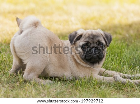 Puppy dog pug playing in the garden on the lawn, on the green grass with rope rope - stock photo