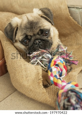 Puppy dog pug playing with rope rope - stock photo