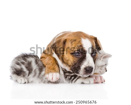 puppy embracing scottish kitten. isolated on white background - stock photo