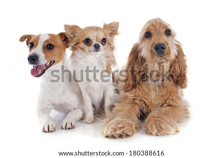 puppy english cocker, jack russel and chihuahua in a studio