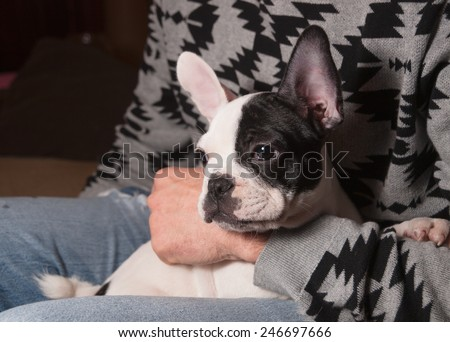 Puppy french bulldog in the lap of a person at home