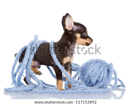 puppy got confused in strings of a yarn. isolated on white background - stock photo