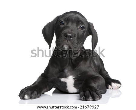 puppy Great Dane (2 months) in front of white background - stock photo