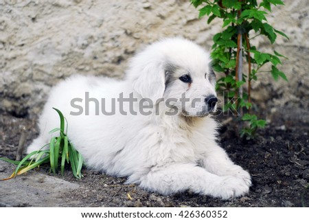 puppy great Pyrenees dog  - stock photo