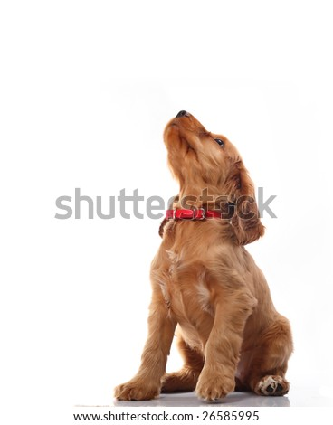 Puppy howling - stock photo