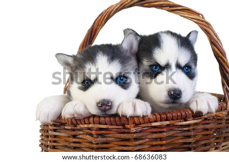 Puppy huskies in busket