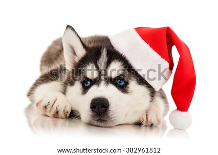 Puppy husky  in santa hat