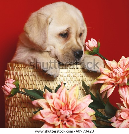 Puppy in a basket with flowers on a red background. - stock photo
