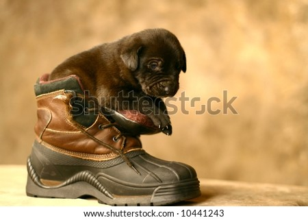Puppy in Boot - stock photo