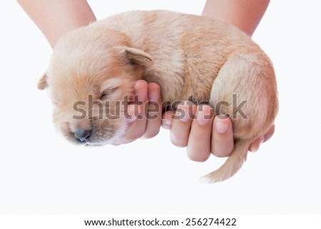 Puppy in hand, on white puppies, puppy, sleeping, cute puppies, puppies hold,golden puppy - stock photo
