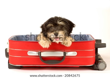 puppy in the suitcase - stock photo