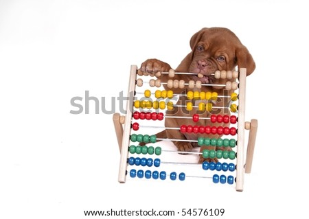 Puppy is learning to count with Abacus isolated on white background - stock photo