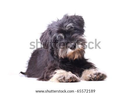 puppy isolated - stock photo