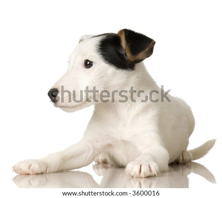 puppy Jack russel in front of a white background