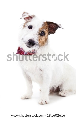 Puppy  jack russel terrier dog on the white background - stock photo