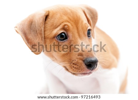 Puppy Jack Russell  on a white background