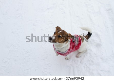 Puppy Jack Russell terrier in a red knitted sweater sitting on snow (top view) - stock photo
