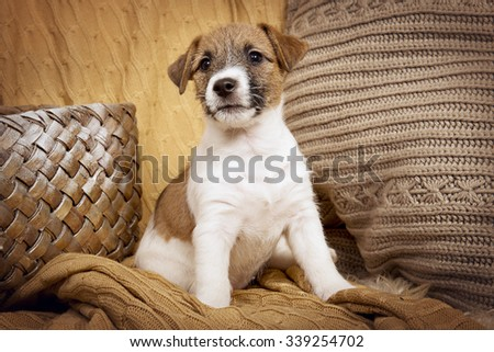 Puppy Jack Russell Terrier in Christmas interior - stock photo