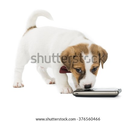 puppy Jack Russell Terrier with phone isolated on white background