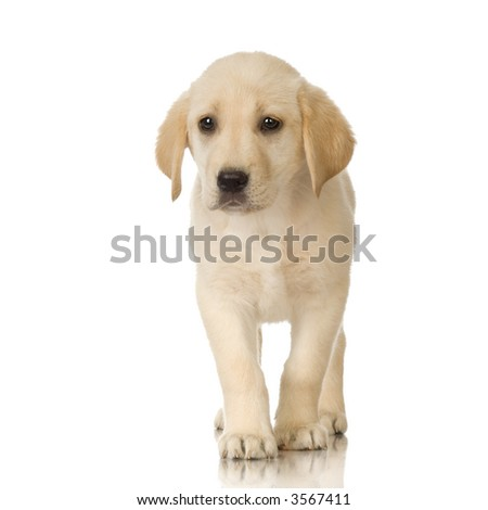 Puppy Labrador retriever cream in front of a white background