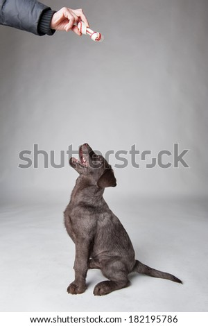 Puppy labrador retriever dog waiting for bone. - stock photo