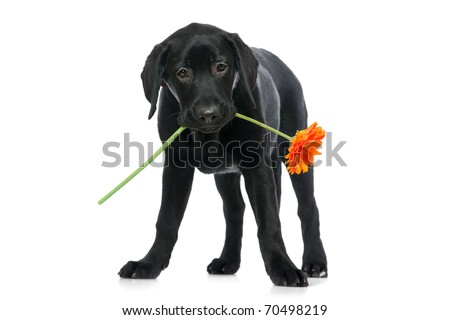 Puppy Labrador retriever holding a flower  in its mouth.  Isolated on white - stock photo