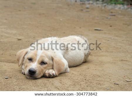 puppy labrador retriever is resting on the ground, Laos - stock photo