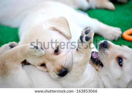 puppy labrador retriever playing  - stock photo