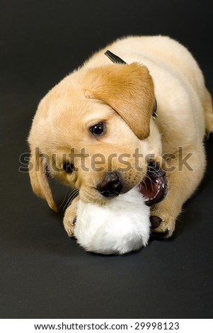 Puppy Labrador retriever playing with hair ball on black background - stock photo