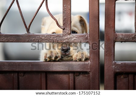 Puppy Labrador with sad look behind metal gate - stock photo