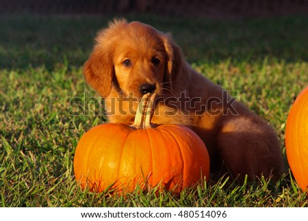 Puppy learning about pumpkins