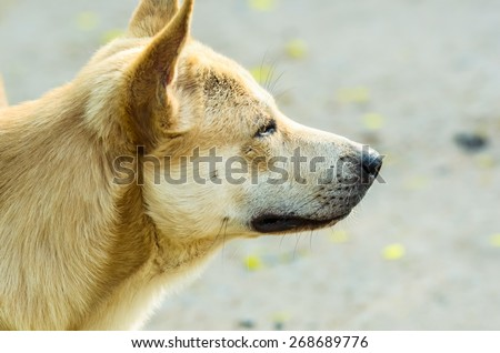 puppy look at camera, close up dog eye, feel he very happy and smile with, dog live at thailand's temple - stock photo