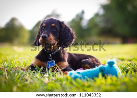 Puppy looking into a field with a blue squeak toy in foreground - stock photo