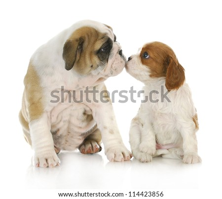puppy love - english bulldog and cavalier king charles spaniel kissing each other - stock photo
