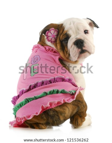 puppy love - english bulldog wearing pink shirt that says love on white background - stock photo