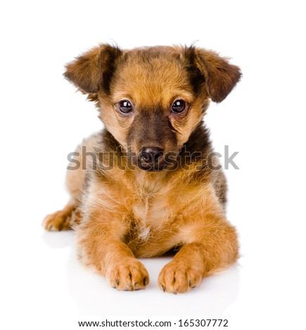 puppy lying in front. looking at camera. isolated on white background - stock photo