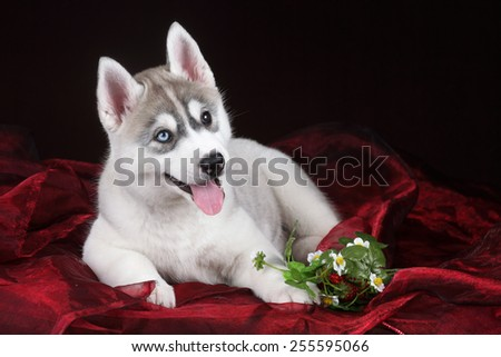 Puppy lying on red fabric with flowers