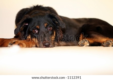 Puppy lying on the floor relaxing - stock photo