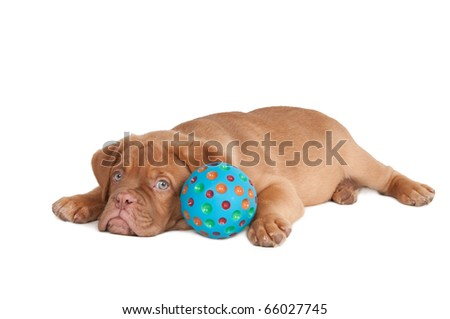 Puppy lying tired after playing with a blue ball - stock photo