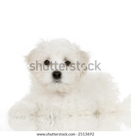 puppy maltese dog lying down in front of white background