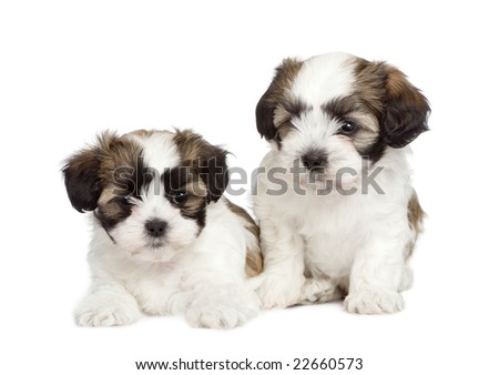 puppy mixed-Breed Dog between Shih Tzu and maltese dog (7 weeks) in front of a white background