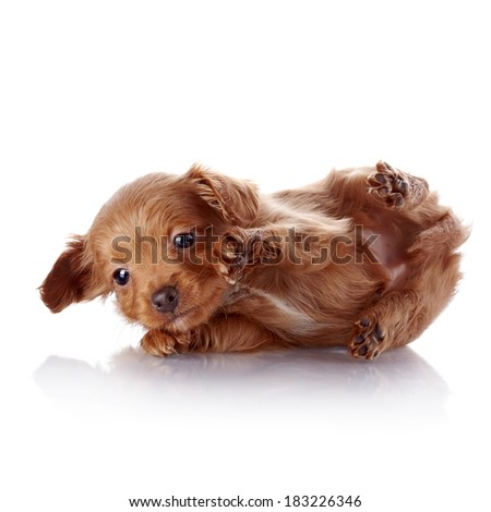 Puppy of a decorative doggie. Decorative dog. Puppy of the Petersburg orchid on a white background - stock photo