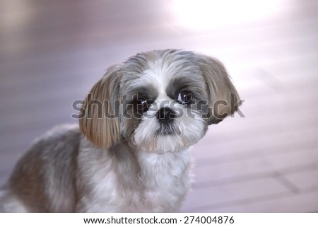 Puppy of a lovely expression/Shih Tzu dog