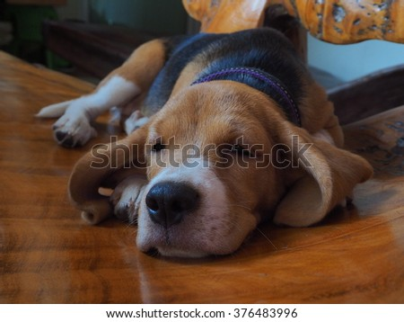 Puppy of beagle sleep on wooden chair